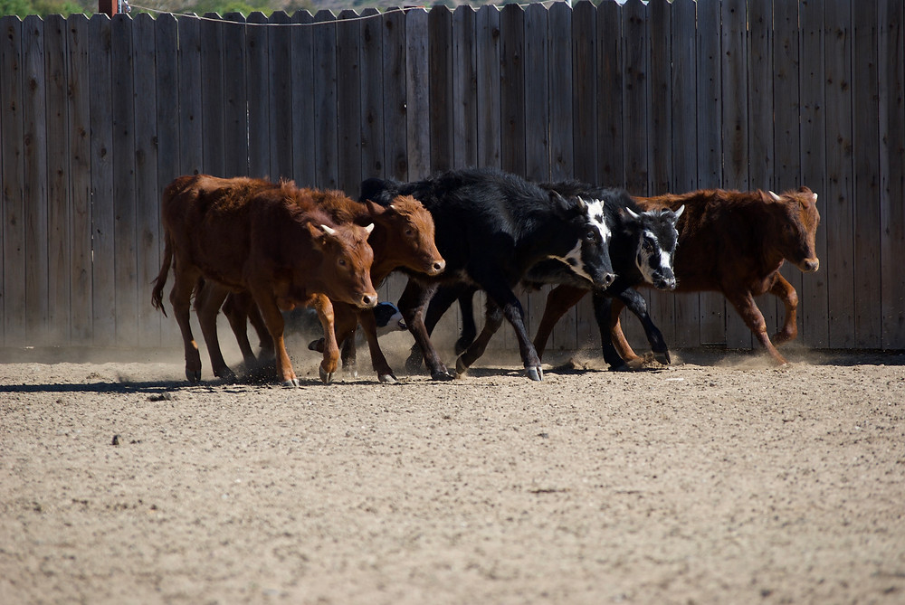 Border Collie Moving Cattle