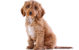 Cockapoo%20by%20the%20stable%20door%20at