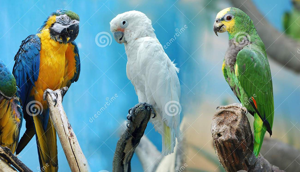 three-parrotsbbb.jpg