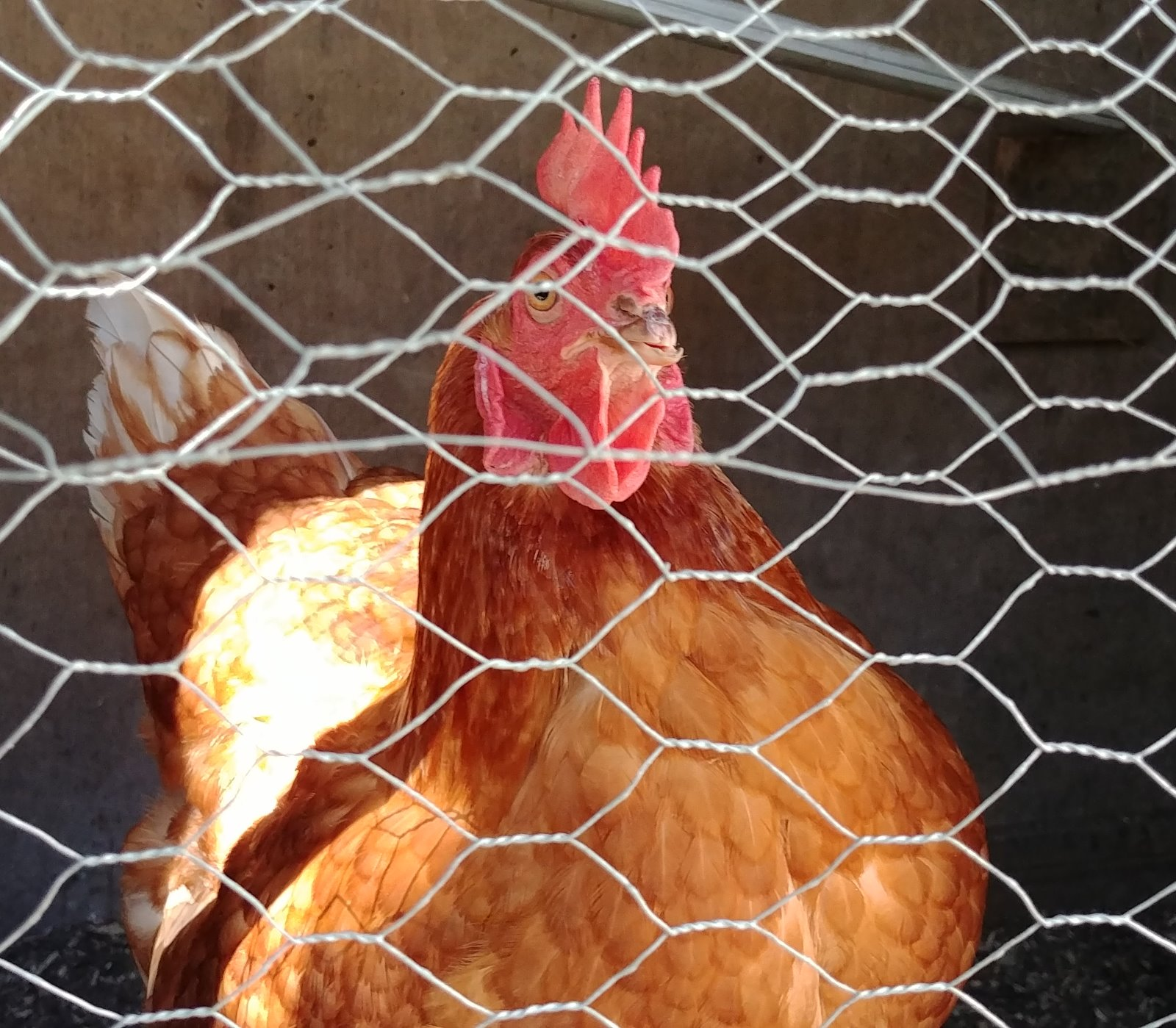 une de mes belles poules pondeuses!