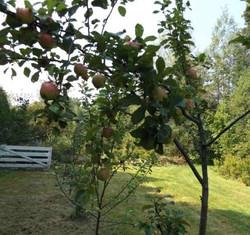 some good fruit in season