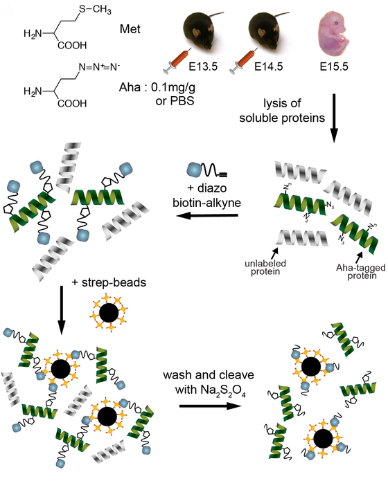 Dynamics of non-canonical amino acid-labeled intra- and extracellular proteins in the developing mou