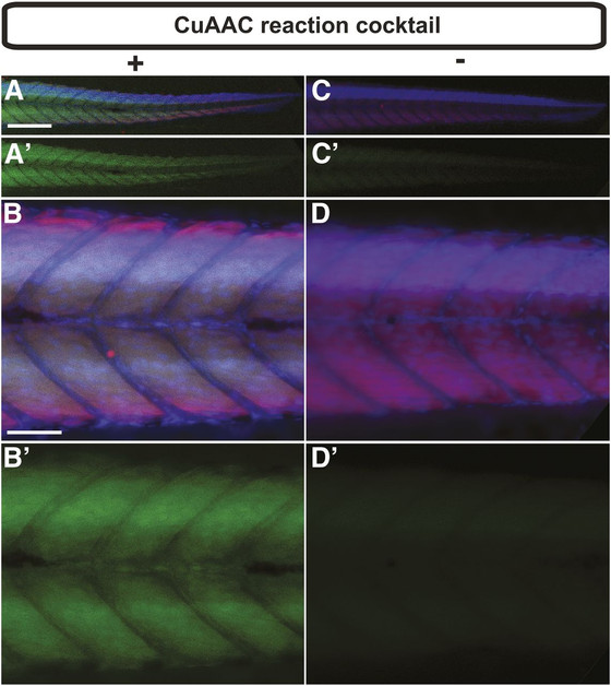 Fluorescent Imaging of Protein Myristoylation During Cellular Differentiation and Development
