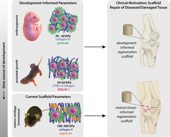 Ontogeny informs regeneration: explant models to investigate the role of the extracellular matrix in