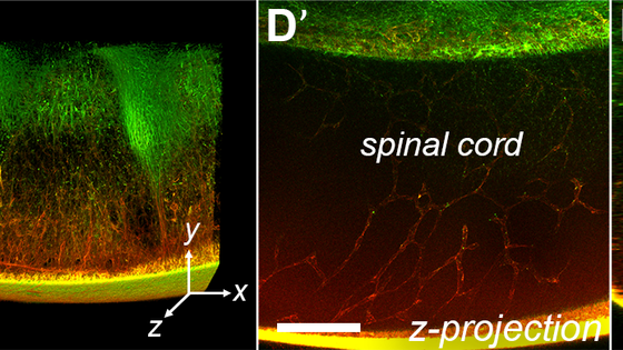Three-dimensional visualization of extracellular matrix networks during murine development