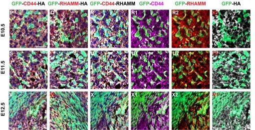 Hyaluronic acid, CD44 and RHAMM regulate myoblast behavior during embryogenesis
