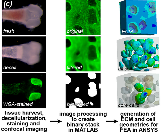 Computational Modeling of Developing Cartilage Using Experimentally Derived Geometries and Compressi