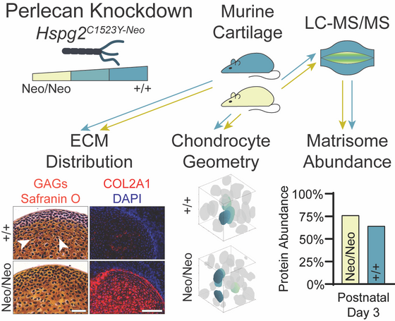Perlecan knockdown significantly alters extracellular matrix composition and organization during car