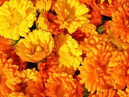 Marigold Optimism