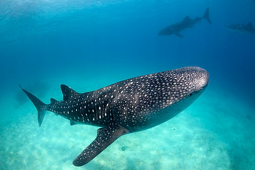 Whale Shark Viewing with Oslob Tour (Foreigner)