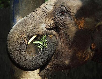 thailändischer-elefant_(2).jpg