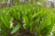 muguet-naturel-jardin.jpg