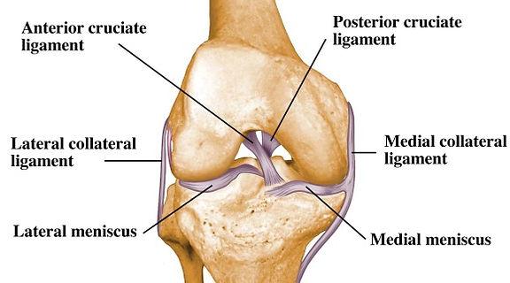 knee anaotmy ligament.jpg