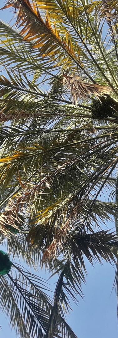 Khatwa Palms.jpg