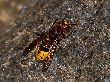 european-hornet-on-tree.jpg