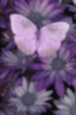 purple-butterfly-darrell-gulin.jpg