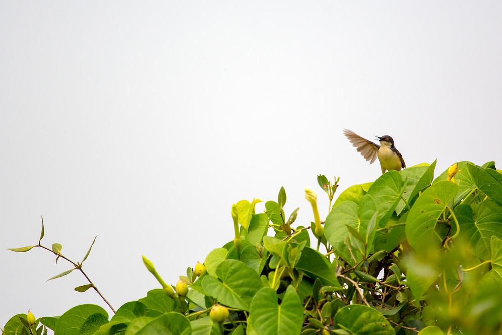 Ashy Prinia | Shot in Ulwe, Navi Mumbai, Maharashtra,