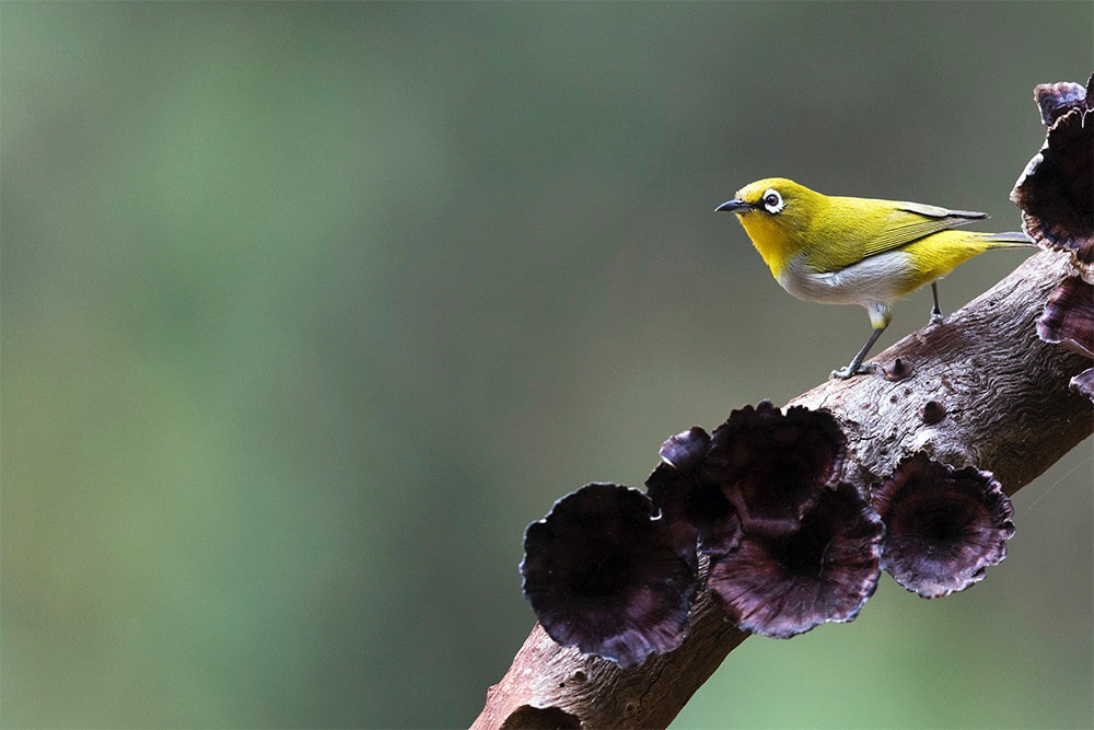 Oriental White Eye in Old Magazine House, Ganeshgudi, Karnataka, India