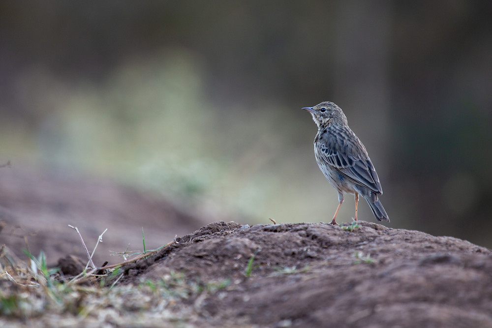 Paddyfield Pipit shot in Sinhagad, Pune.