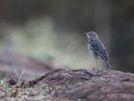 Of Eliot and Pipit