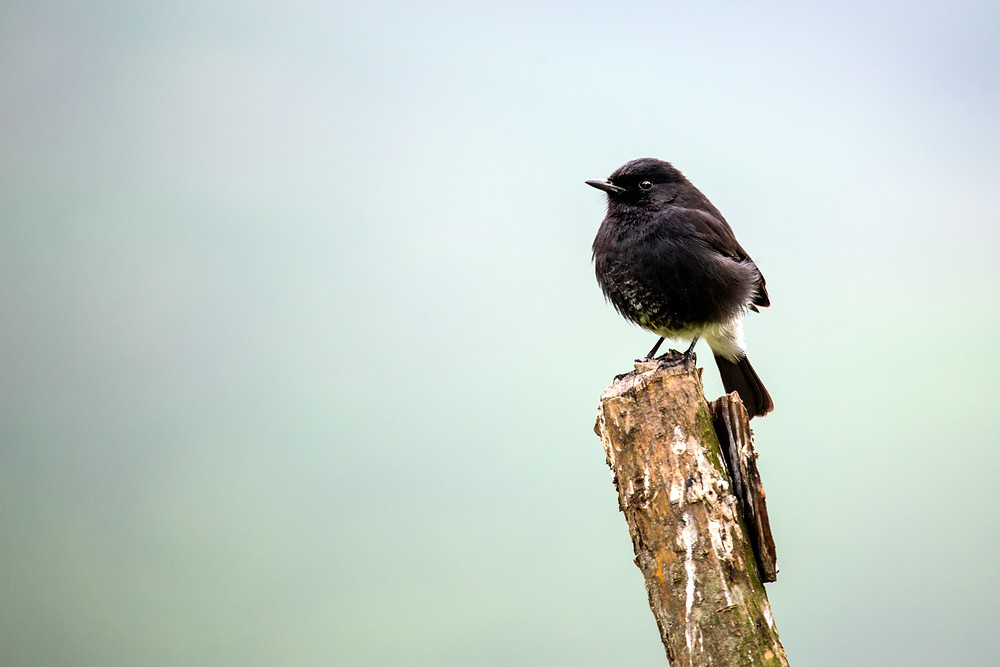 Pied Bushchat in Munnar, Kerala, India.
