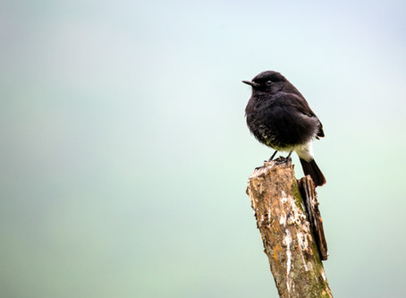 Curd, Priest and Pied Bushchat