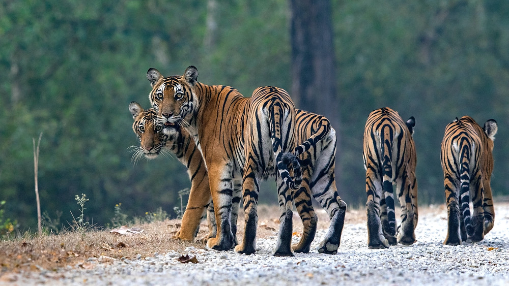 Tigress with cubs shot in Kabini, Karnataka.