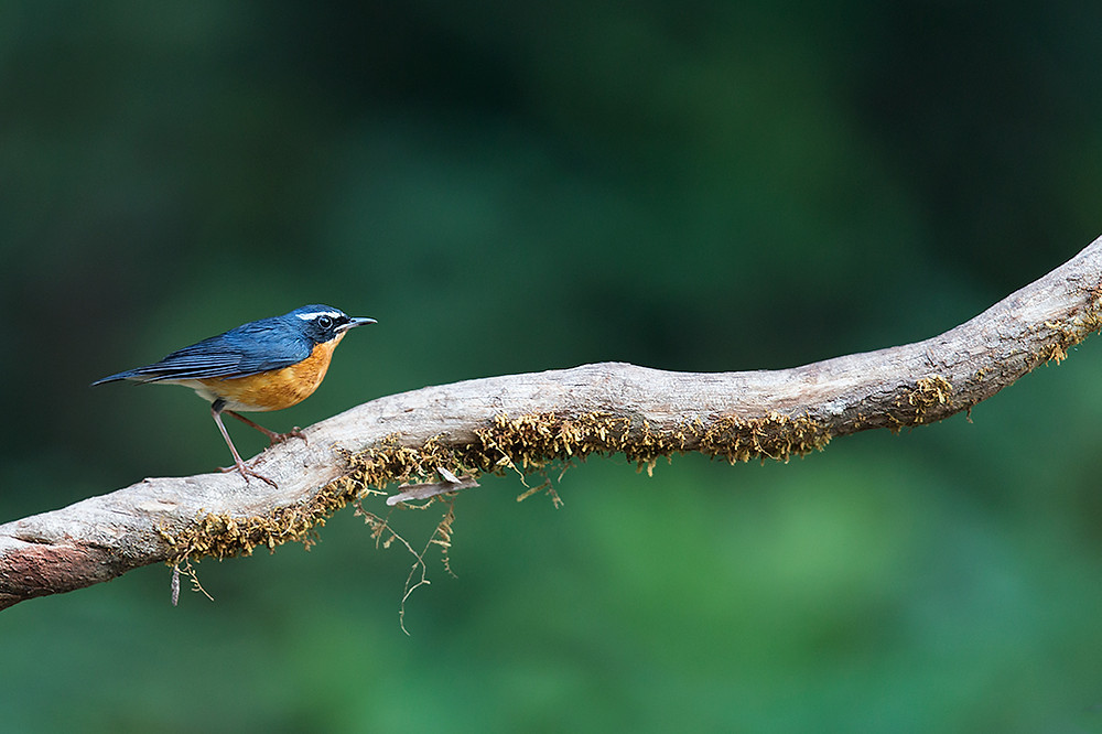 Indian Blue Robin in Old Magazine House, Ganeshgudi, Karnataka, India.