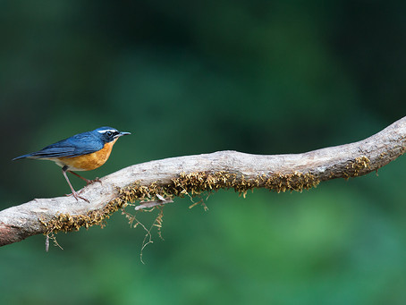 Indian Blue Robin and Emily Dickinson
