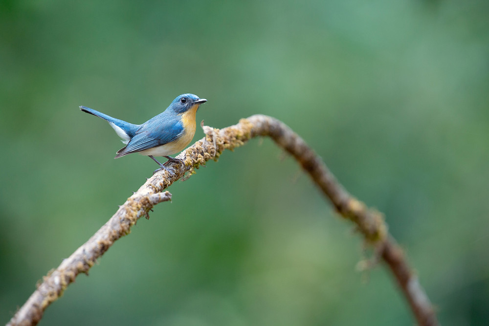 Tickell's Blue Flycatcher in Ganeshgudi, Karnataka, India