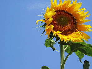Sunflower#5.jpg