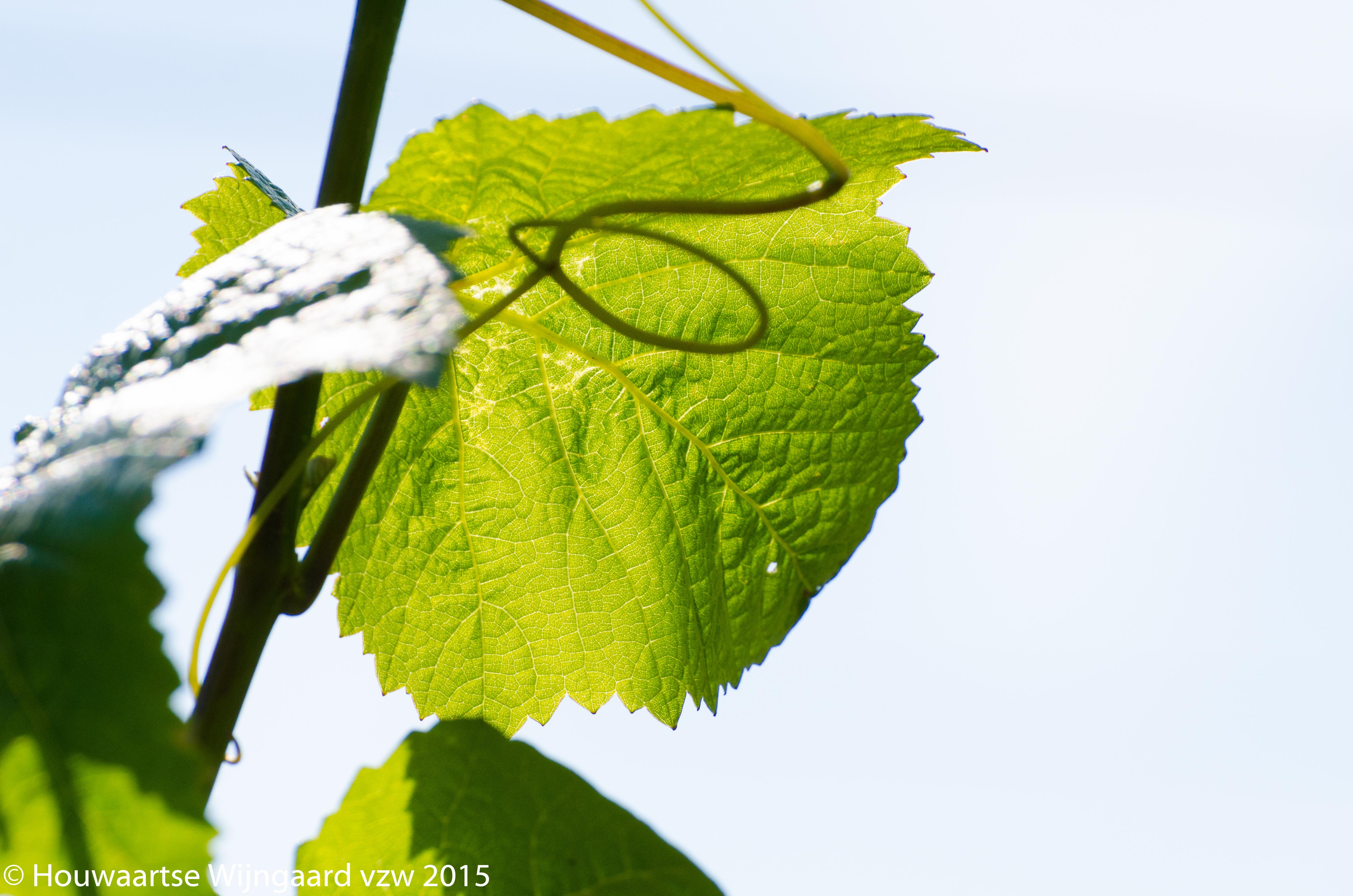 Wijnblad