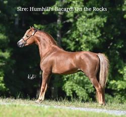 Humhill's Bacardi On The Rocks