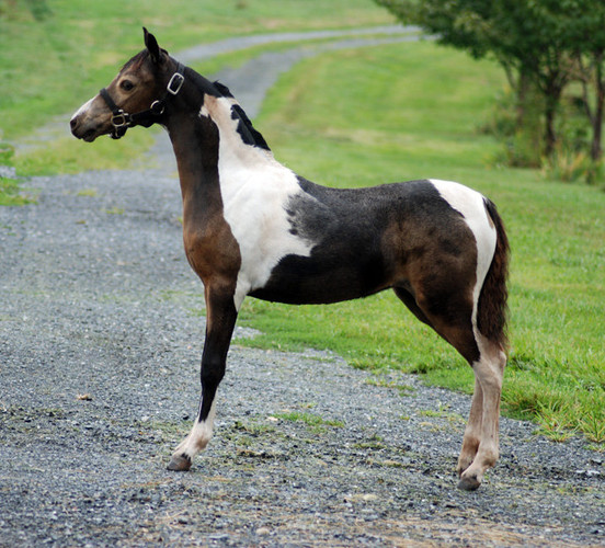Valentine as a Foal