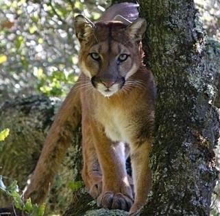 Puma (mountain lion) in an oak tree