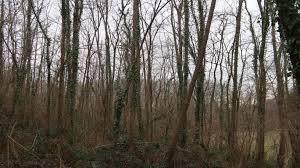 Achat de bois d'acacia à couper.