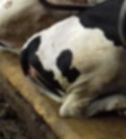 PastureMat_WaxCover_with cows_closeup.jp