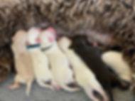 Harper pups 2.jpg