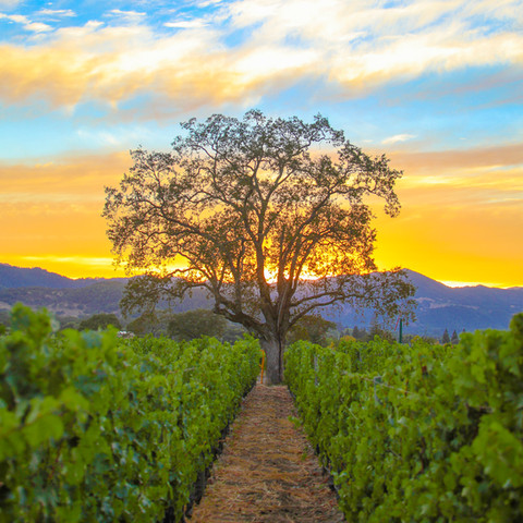 The Vineyard Tree photographed by Michael Cuffe