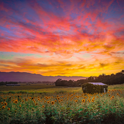 Sunflowers at Sunset in the Napa Valley