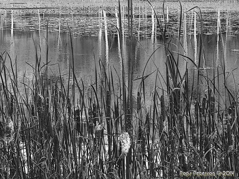 Reeds-bw