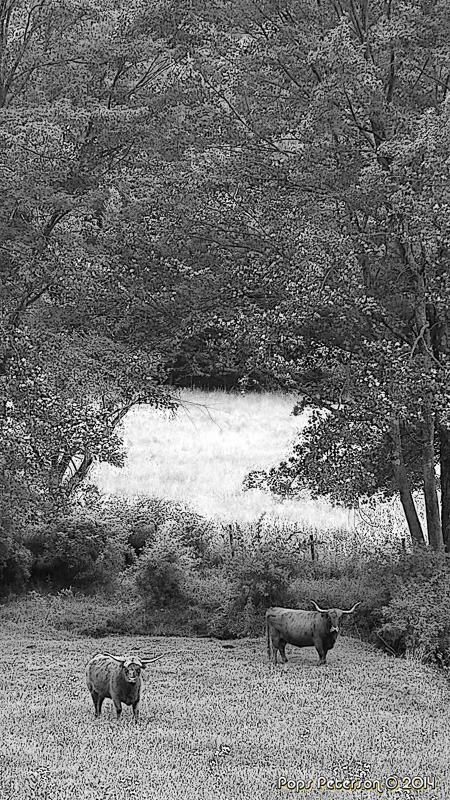 Two Cows-BW.jpg