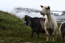 Goats fur