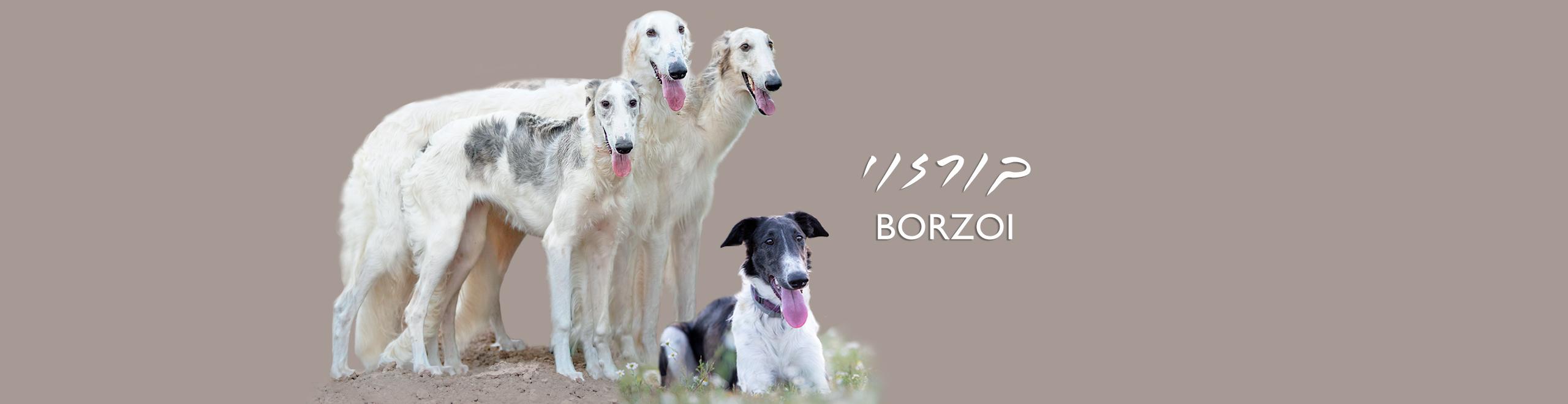 Borzoi בורזוי