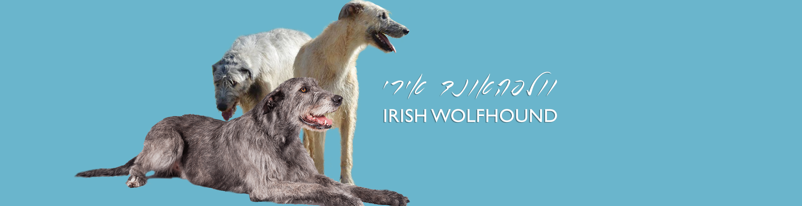 Irish Wolfhound וולפהאונד אירי
