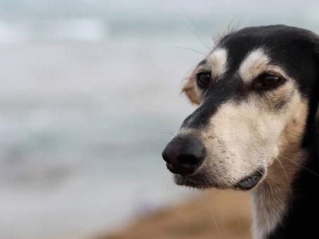 הכירו את הסלוקי, כלב הציד של הבדואים