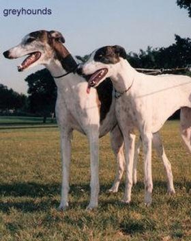 greyhound11.jpg