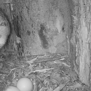 We have Tawny Eggs! Exciting new Tawny Footage from Yew View…