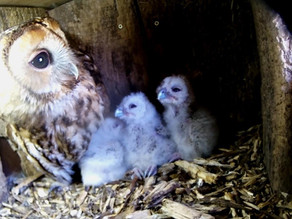 The Yew View Tawnies owlets are growing fast