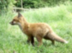 Fox Cub daylight 3pm 31st May_Crop00001.